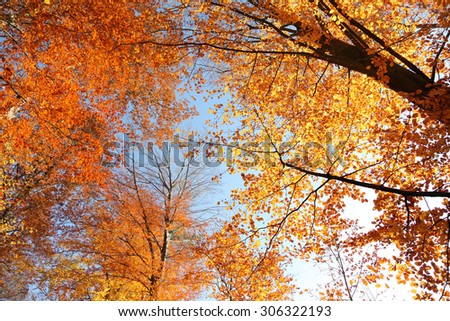 forest in autumn with golden leaves of beech tree  - stock photo