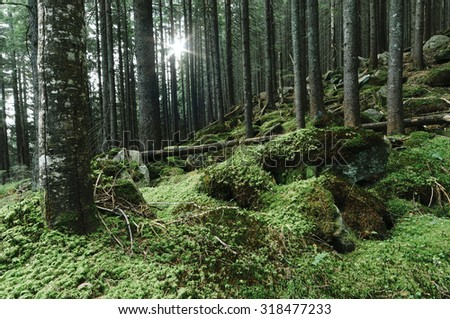 Forest landscape with moss on the rocks. Fir trees - stock photo