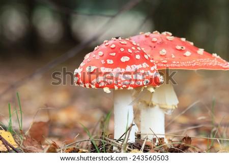 forest mushroom in moss after bir longtime rain - stock photo