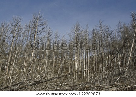 Forest of burned trees years after a forest fire in National Park, Croatia. - stock photo