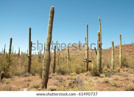 forest of cacti - stock photo