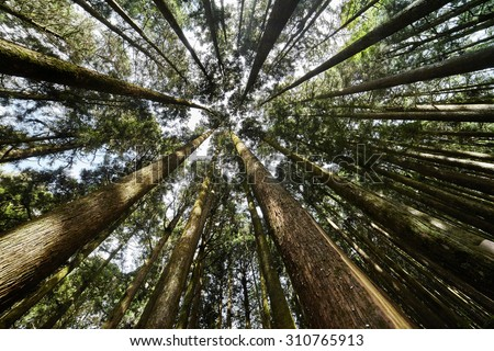 Forest of Conifer  trees.-. nature green wood, sunlight background - stock photo