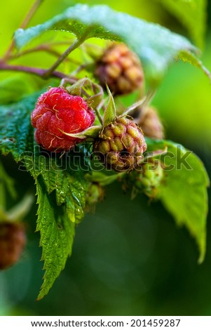 forest raspberry - stock photo