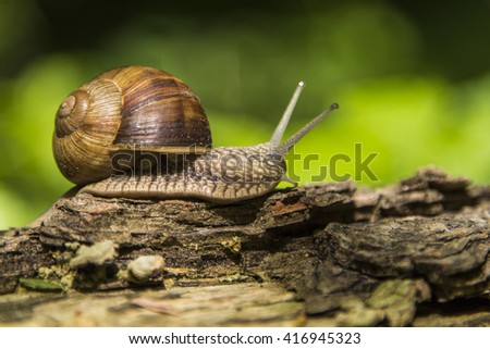 forest snail ,gliding on the branch ,(Helix pomatia) edible snail - stock photo