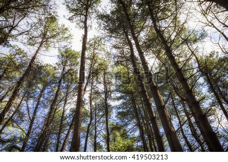 Forest trees and blue sky. nature wood sunlight backgrounds. Pine trees. Spring background - stock photo