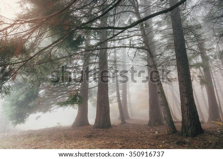 Forest trees in a mysterious fog. Background trunks of coniferous trees in the misty morning. - stock photo