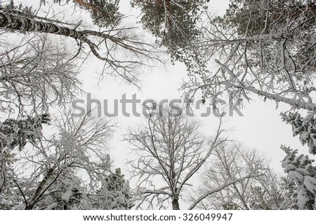 Forest trees in beginning of winter. View to the top. - stock photo