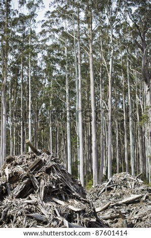 Forestry waste with tall eucalyptus trees waiting to be harvested, Tasmania, Australia - stock photo