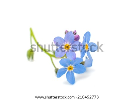 forget-me-flower on a white background - stock photo