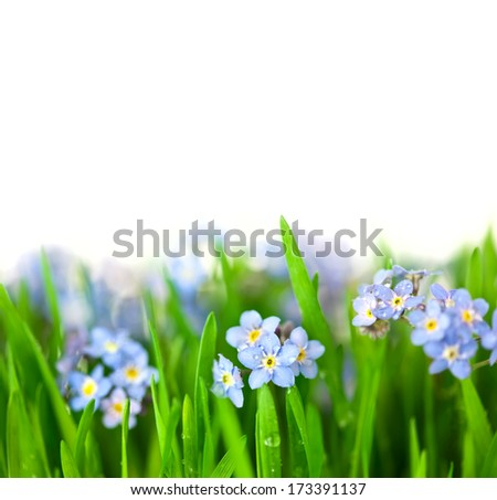 Forget-me-not blue Flowers into green Grass with water drops / isolated on white background - stock photo