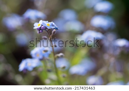 Forget me not blue; Shallow depth of field - stock photo