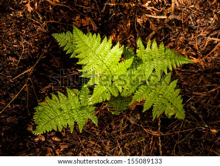 Forget-Me-Not Ferns  on a forest floor at Peninsula State Park, Door County, Wisconsin - stock photo