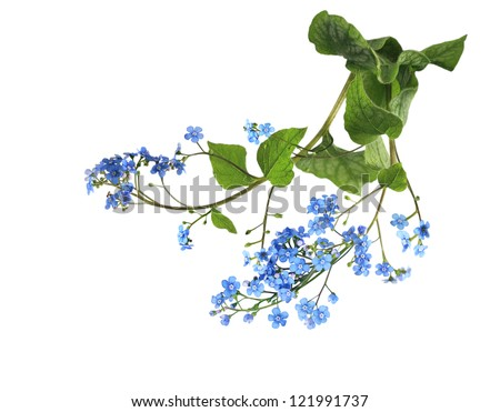 Forget me not flower isolated on white - stock photo