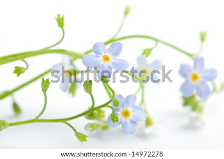 forget me not flower isolated (shallow DOF) - stock photo