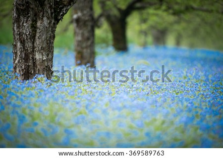 forget me not flowers in an orchard - stock photo