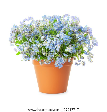 Forget-me-not flowers in pot isolated  isolated on white background - stock photo