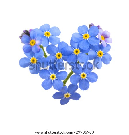 Forget me not, little flowers in heart shape, isolated on white. - stock photo