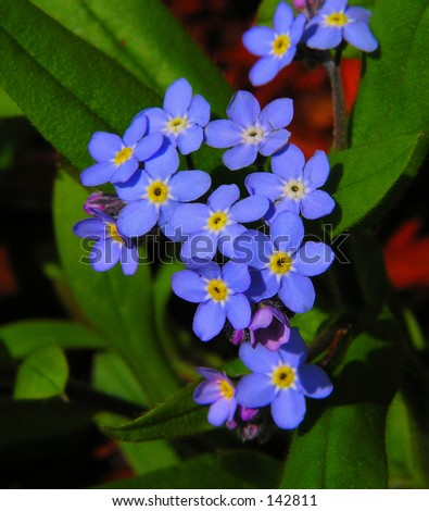 Forget Me Nots - stock photo