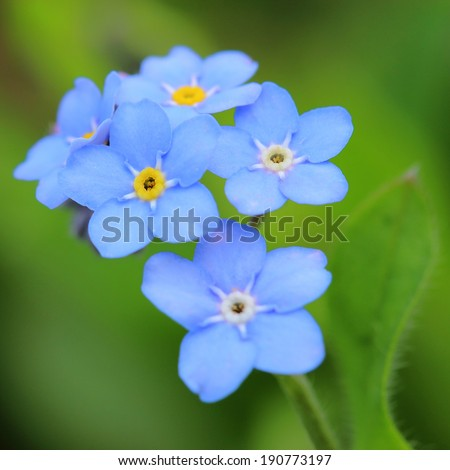 Forget-me-nots flowers. Close up  - stock photo
