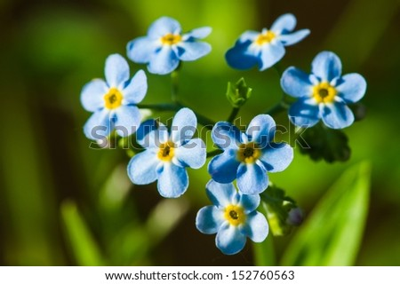 Forget You Never. Forget-me-not flowers against the green and brown background. I will never forget you. - stock photo