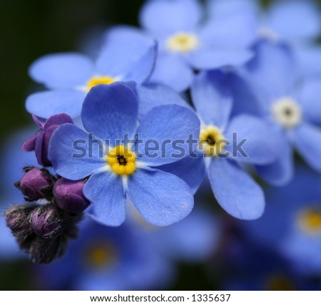 Forgetmenot Macro - stock photo