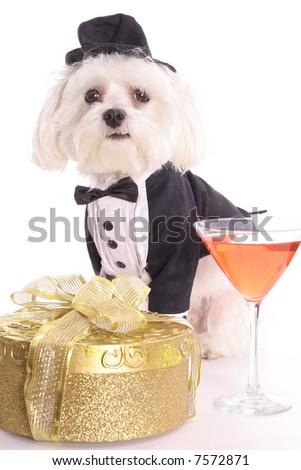 Formal Maltese - stock photo