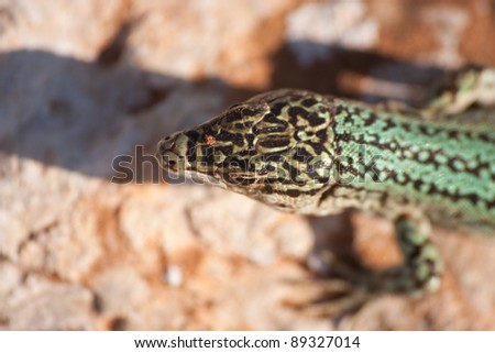 Formentera's endemic species of green lizard (Podarcis pityusensis). Balearic islands. Spain - stock photo