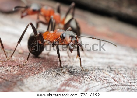 Formica rufa ant - stock photo