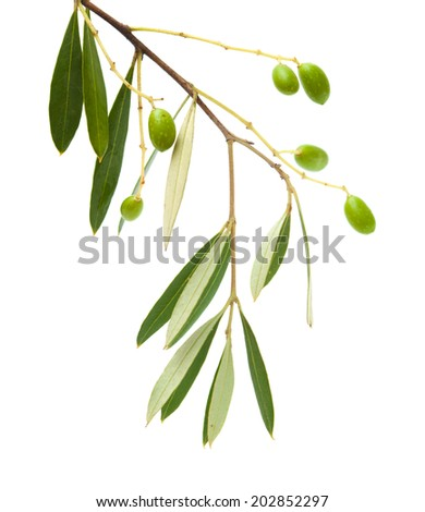 forming small green olives on branches, isolated on white - stock photo