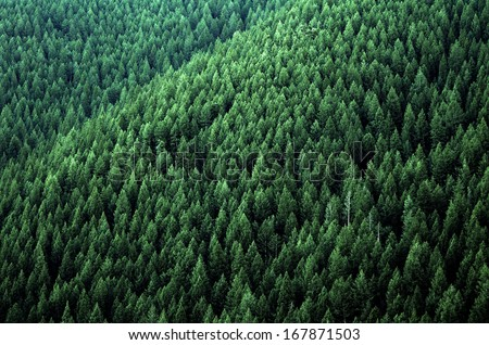 Forrest of green pine trees on mountainside with late afternoon sunlight - stock photo