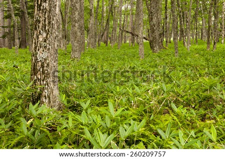 Forrest with young bamboo plants in national park of Nikko, Japan - stock photo