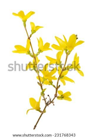 Forsyshia flower (Oleaceae Olive family) isolated on white background  - stock photo
