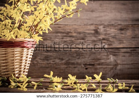 Forsythia in basket on wooden background - stock photo