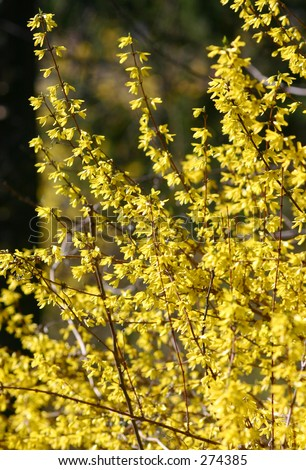 Forsythia in bloom. - stock photo