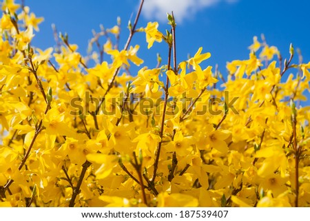 forsythia in full bloom - stock photo