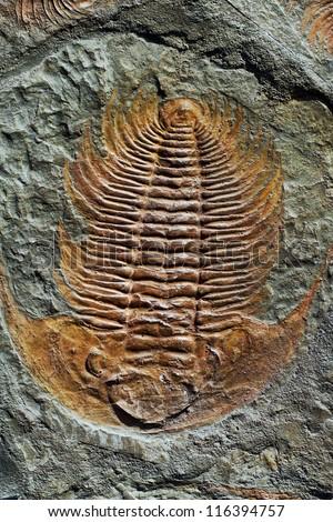 fossil trilobite imprint in the sediment - stock photo