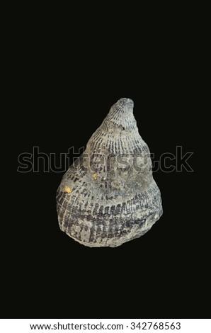 Fossilized coral  Family: Zaphrentis - stock photo