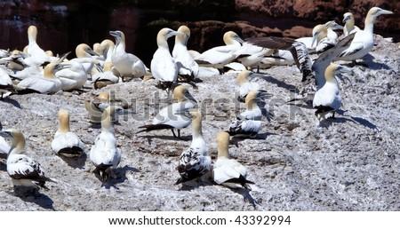 Fou de Bassan / Bonaventure Island - stock photo