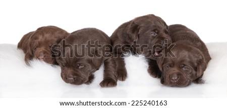four adorable chocolate labrador puppies - stock photo