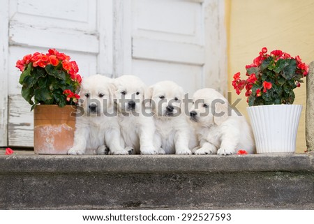 four adorable golden retriever puppies - stock photo