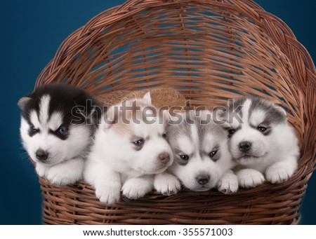 Four adorable Husky puppy in a basket. On a blue background in the Studio. - stock photo