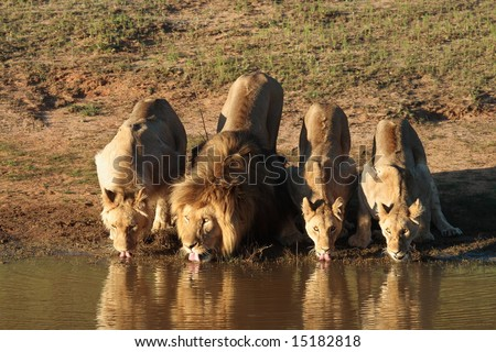 Four adult Lions drinking water at sunset - stock photo