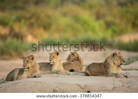 Four African Lionesses lying down in river bed in the Kruger Park South Africa - stock photo