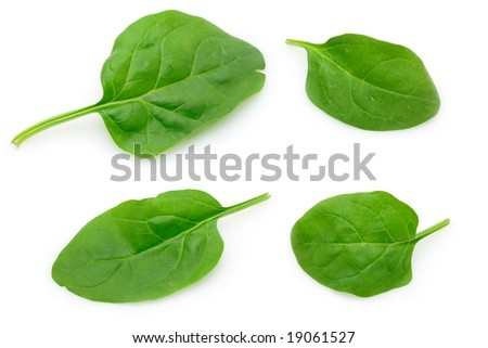 Four baby spinach leaves in isolated white background - stock photo