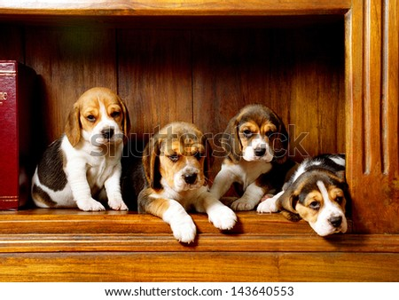 Four beagle dog puppies pose on classic background   - stock photo