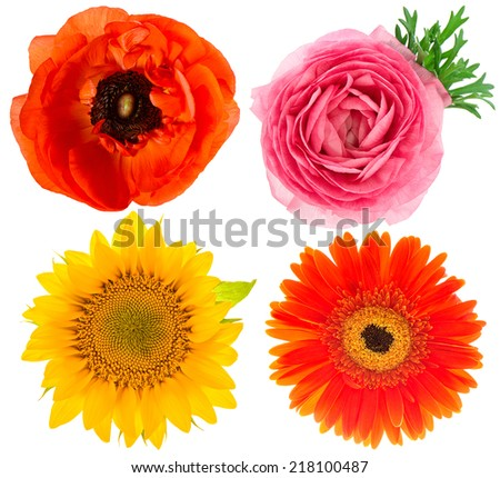 four beautiful single flower heads. ranunculus, sunflower, gerber, anemone isolated on white background - stock photo