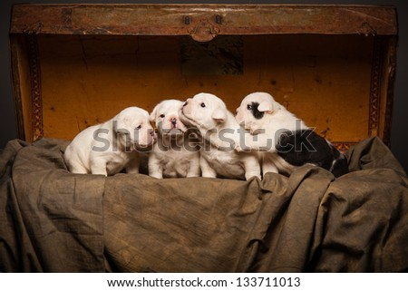 Four bulldog puppies in warm background with old trunk - stock photo