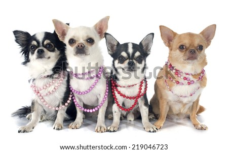 four chihuahua in front of white background - stock photo