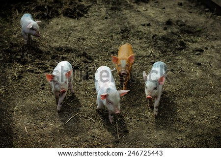 four color piglets together and one alone - stock photo