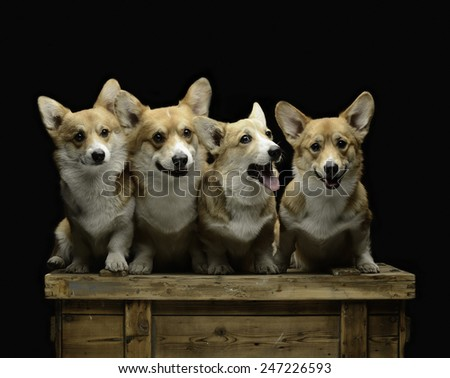 Four corgi dogs sitting on a wooden chest - stock photo